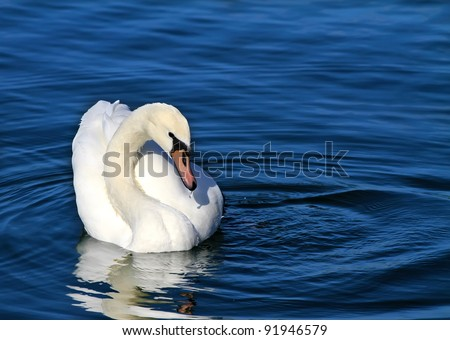 white swan floating on a clean blue water
