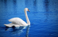 White swan floats in blue water of lake