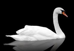 White swan floats in water. bird isolated over black