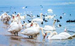White swan flock on shore. Swans in water. White swans