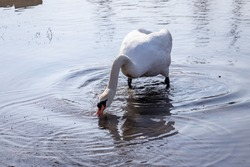 White swan gathers food underwater near the river