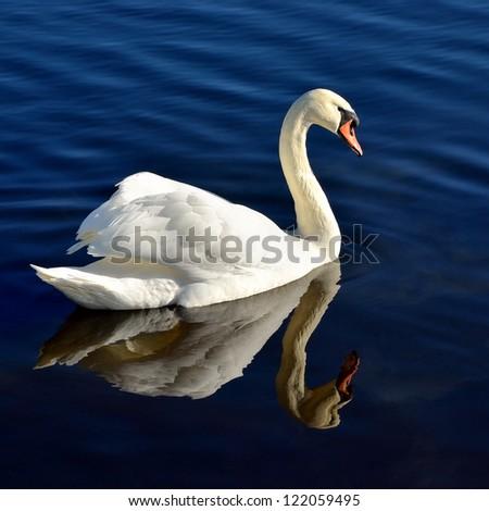 white swan in blue water