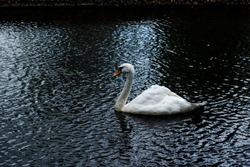 White swan in central park river