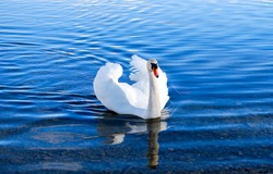 White swan in lake water. Swan in water. White swan portrait. White swan in nature