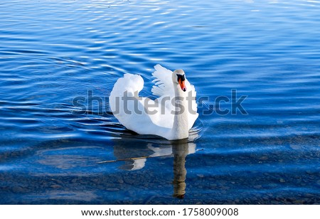 Photo of  White swan in lake water. Swan in water. White swan portrait. White swan in nature