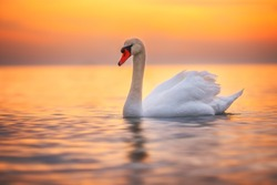 White swan in the sea,sunrise shot