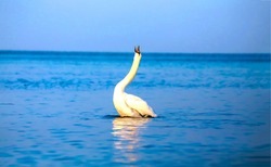 White swan in water view