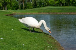 white swan near the pond in the park, green grass, nature landscape