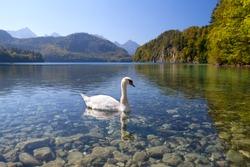 white swan on alpine lake, Bavaria, Germany