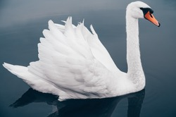 White Swan on blue lake, side view very close-up