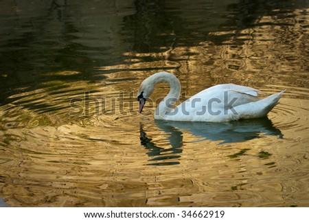 White swan on golden lake