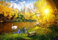White swan on lake in autumn forest