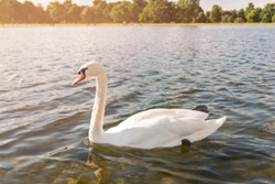 White Swan on lake water in sunset day, Swans on pond, nature series. Beautiful White Swan swimming in a lake.