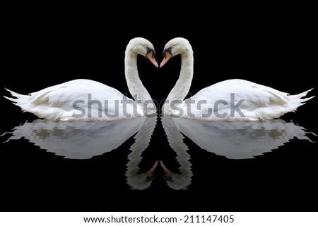 Stock Photo White swan on the black background