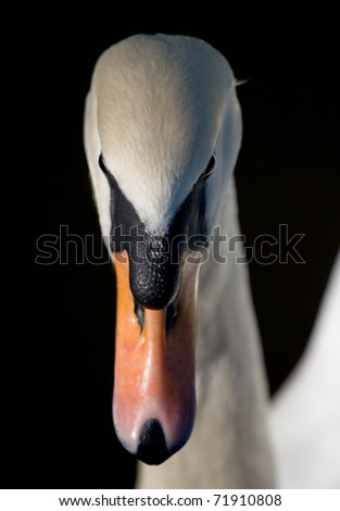 white swan on the black background