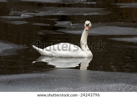 white swan on the frozen lake in winter