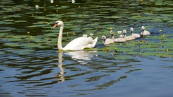 White Swan on the lake swimming with ducklings. Little swans swim after a goose. Offspring. Migratory, feathered birds.