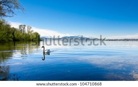 White Swan on the Lake Zuger, Switzerland
