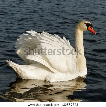 White swan on the water surface. - stock photo