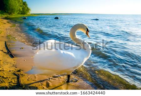 Photo of  White swan onlake shore. Swan on beach. Swan on shore