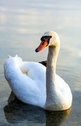 White swan portrait in water
