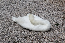 white swan sleeping on the beach by the lake