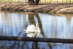 White swan swimming alone in stream of water in pond