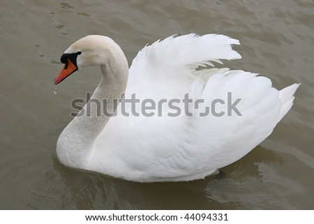 White swan,  symbol of silence and grace