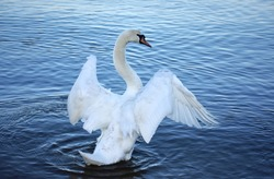 white swan with flapping wings at the baltic sea in gdynia poland