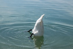white swan with head down (don't bury your head in the sand)