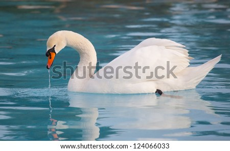 White swan with reflection on water