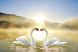 White swans couple in love swimming on lake during sunrise and mist on water.