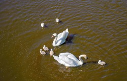 White swans family in water