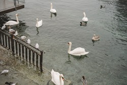 White swans, geese and seagulls swimming in the turquoise water and sitting on the metallic fence. Peaceful landscape river close up with wild birds