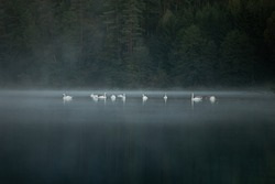 White swans in the dark forest