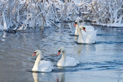 White swans in the river at winter