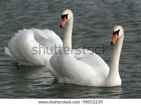 White swans in the water.