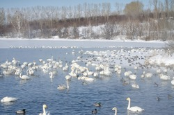 white swans on a winter lake. ducks swim on the lake in winter. mute swans. a large flock of swans is sleeping on the shore of the lake. a flock of swans. flock of ducks.