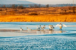 white swans on an autumn lake on a sunny day