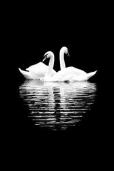 White swans on the black background