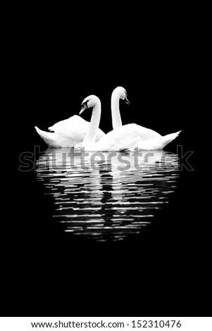 Stock Photo White swans on the black background
