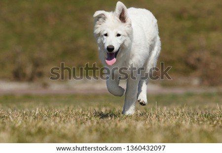 white swiss dog for a walk #1360432097