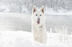white Swiss Shepherd Dog, looking