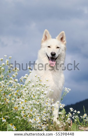 WHITE SWISS SHEPHERD DOG  Weisser Schweizer Schaeferhund  Berger Blanc Suisse - stock photo