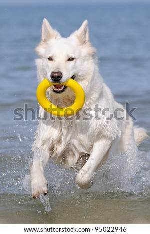 White Swiss Shepherd in the holiday on the ocean