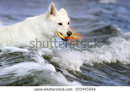 White Swiss Shepherd on the beach in the holiday