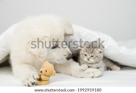 White Swiss shepherd puppy looks at kitten. Pets heating together under white warm blanket on a bed at home