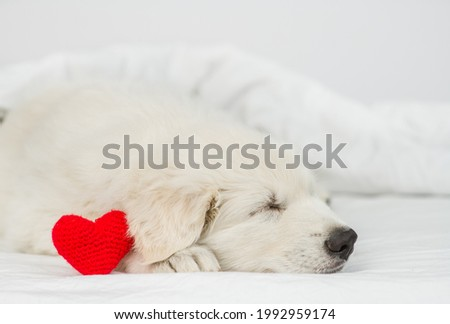 White Swiss shepherd puppy sleeps with read heart under white warm blanket on a bed at home