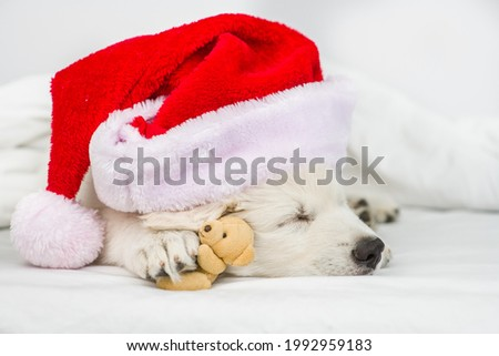 White Swiss shepherd puppy wearing  red christmas hat sleeps with favorite toy bear under white warm blanket on a bed at home