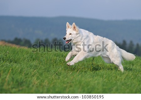 White Swiss Shepherd runs